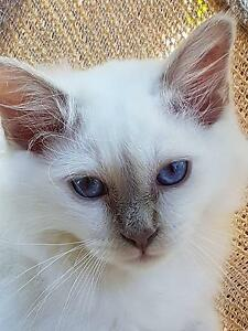 Birman Kitten Lilac - A cat who is going to love cuddles Murrumbateman Yass Valley Preview