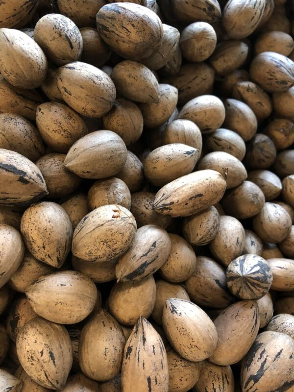 10 Pounds Pecans In Shell Fresh 2020 North Carolina Crop