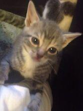 Four beautiful kittens Leppington Camden Area Preview