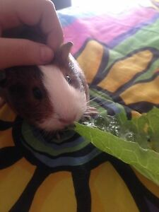 6 month female Gunnie pig