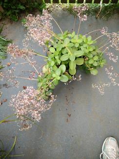 Sedum in flower, large leaf easy care