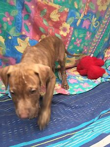 Puppy found- acacia Marrara Darwin City Preview