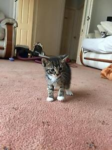 Kittens for sale Bradbury Campbelltown Area Preview