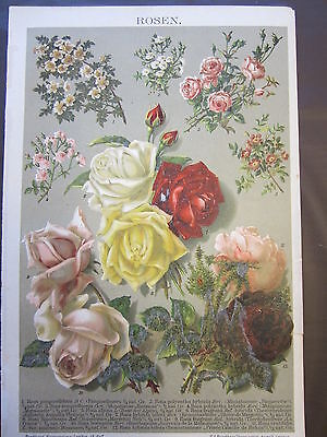 ROSES 1800'S GERMAN CHROMOLITHOGRAPH-FLOWERS-PLANTS-ROSE-PINK-RED-WHITE