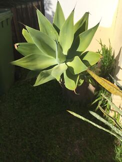 Large Agave in brown/beige concrete style pot