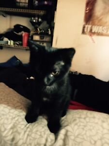 Kittens looking for good home  rescue kitten/cat available too