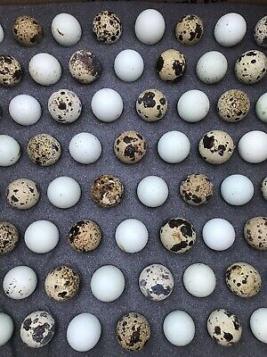 25 Celadon Blue 25 Assorted Coturnix Quail Eggs Free Shipping