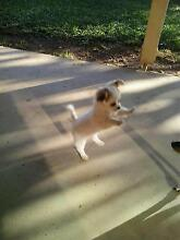 Purebred Chihuahua Female Puppy for Sale -$500 Boambee Coffs Harbour City Preview