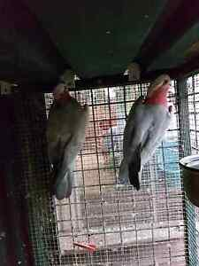 For  sale breedin pair of pink grey galah Macquarie Fields Campbelltown Area Preview