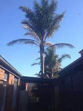 Large Palm Tree Narre Warren South Casey Area Preview