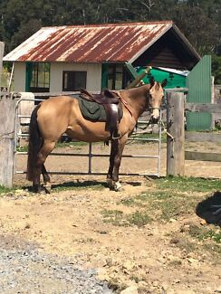 Stunning Buckskin Mare Perfect Pony Club Mount for Confident Rider Coffs Harbour 2450 Coffs Harbour City Preview
