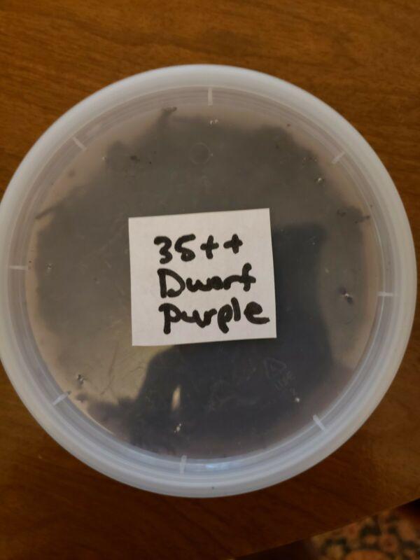 Dwarf Purple Isopods 35++ Clean Up Crew For Vivarium/ Terrariums