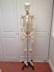 Life size (180cm) resin Skeleton West Pennant Hills The Hills District Preview