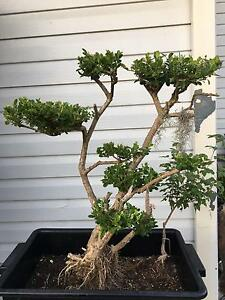 bonsai tree buxus Coogee Eastern Suburbs Preview