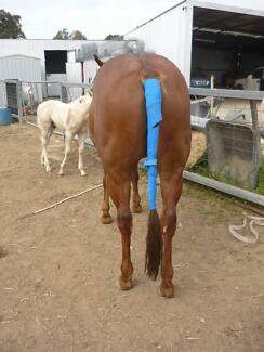 Paint/QH mare in foal. 100% palomino foal. Two for price of one! Benalla Benalla Area Preview