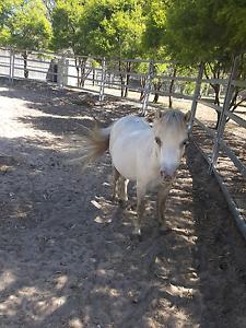 Miniature horse Maitland Maitland Area Preview