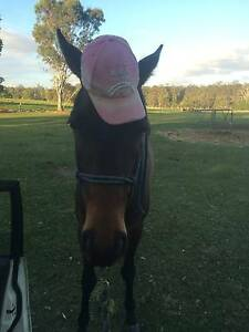 ASHS x Thoroughbred Filly 3 yo: 12-18 month Free Lease Moggill Brisbane North West Preview