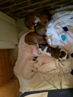Husky - kelpie x staffy. BIN0001773806136