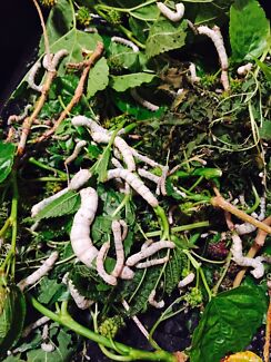 silkworms all sizes. Belhus Swan Area Preview
