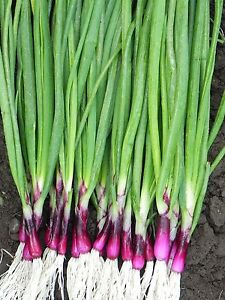 ITALIAN PURPLE SPRING  ONION - LILIA  - 800 SEEDS
