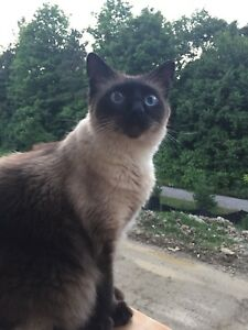 Missing Balinese Male Cat in Aurora