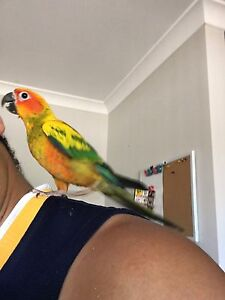 Handraised Male Sun Conure East Cannington Canning Area Preview