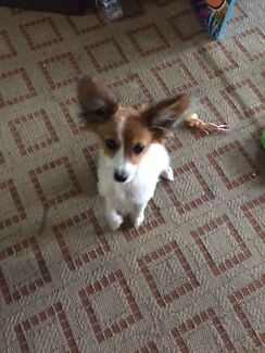 Beautiful jack Russell x papillon puppy!!! South Lake Cockburn Area Preview