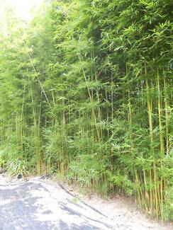 Bamboo removal we need Gracilis Bamboo
