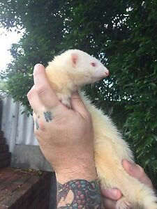 Albino ferret Shoalwater Rockingham Area Preview