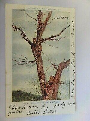 Yellowstone postcard - Berry Pub - No. 32 Mountain Lions, Jardine, Mont postmark