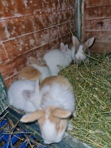 Pure Flemish Rabbit babies available NOW selling fast