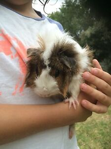 Abyssinian guinea pig and baby Maitland Maitland Area Preview