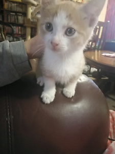 Male gingee kitten looking for forever home Buln Buln Baw Baw Area Preview