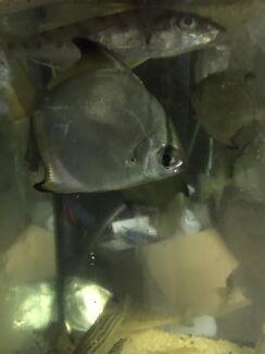 Mono angel wild caught fish (fresh water) and mini box fish (marine)