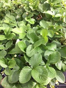 Strawberry plants Falcon Mandurah Area Preview