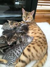 Kittens For Sale Armidale Armidale City Preview