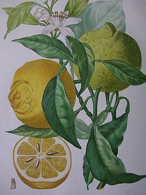 ORANGE, A. POITEAU, A. RISSO, PUNKTIERSTICH, STIPPLE, BITTERORANGE NO. 38, ~1820