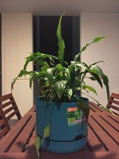 Peace lily in a self watering pot