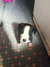 Beagle and American staffy mixed 7weeks pup West Ryde Ryde Area Preview
