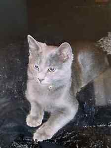 11 month old dsh male cat Yanchep Wanneroo Area Preview