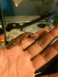 Crested gecko with tank (LOWERED PRICE)