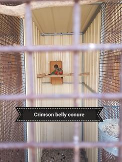 Crimson bellied conure baby