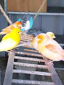 canaries for sale Hamlyn Terrace Wyong Area Preview