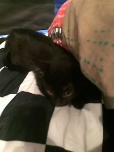 Baby female black kitten