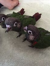 HAND RAISED PEARLY CONURE - ONLY 1 MALE LEFT Mudgeeraba Gold Coast South Preview