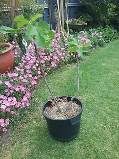 Black Genoa Fig Tree