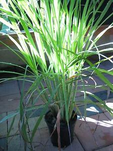 Lemon grass plants for sale Mirrabooka Stirling Area Preview
