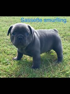 Blue French bulldog purebred pups