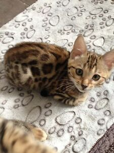 10 weeks old gorgeous Bengal kittens available