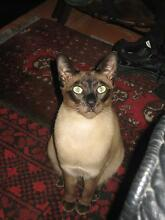Gorgeous pair of kitties need excellent home only Hunters Hill Hunters Hill Area Preview